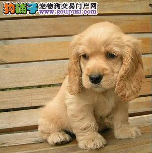 武汉活泼可爱可卡犬赛级品相纯种可卡幼犬保健康纯种