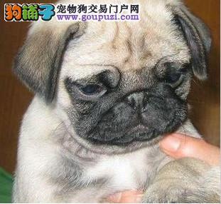 合肥巴哥 憨厚可爱的小巴哥宝宝 巴哥犬纯种高品质