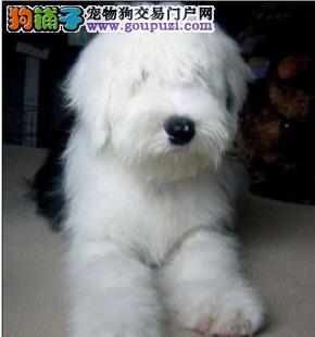 CKU-古代牧羊犬白头通背双蓝眼特价出售签-协议保健康