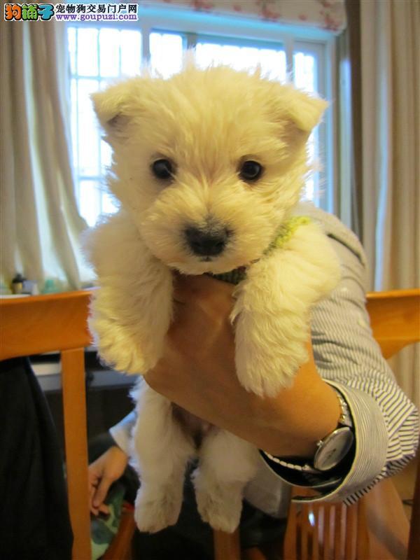 上海西高地犬专业繁殖的纯种西高地幼犬赛级品相保健康