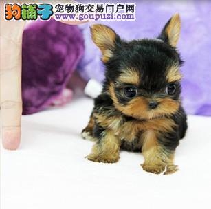 上海出售赛级约克夏犬疫苗驱虫均已做不满意退换