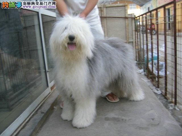 出售纯种白头通背古代羊犬幼犬 健康保证 信誉保证