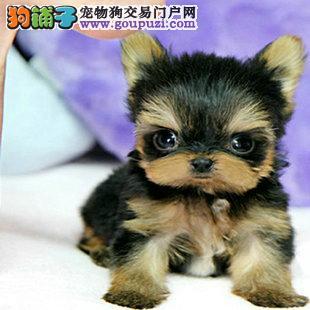 北京繁育出售约克夏幼犬健康可签订质保协议血统纯正