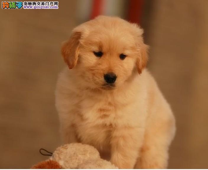 美系金毛犬金黄色丰厚被毛品质好血统好质优价廉