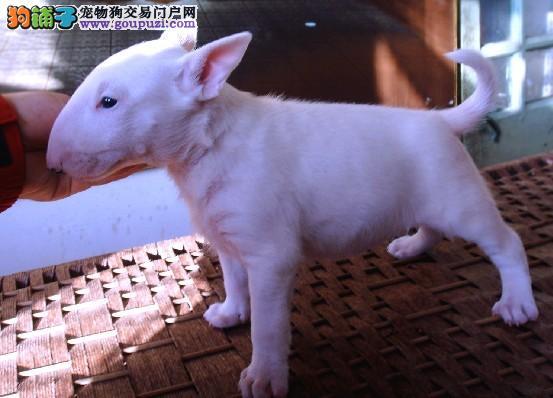 景德镇自家繁育牛头梗犬出售纯白色海盗眼牛头梗可挑选