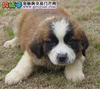 杭州哪里出售圣伯纳 杭州圣伯纳买卖 杭州圣伯纳幼犬