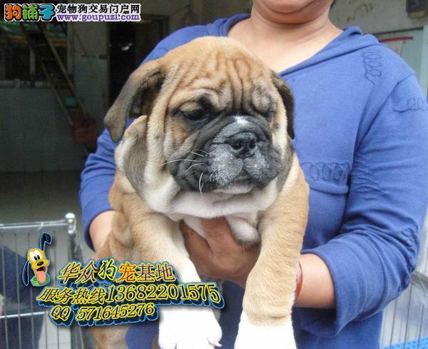 斗牛狗 广州哪里有斗牛狗卖 斗牛狗多少钱 广州