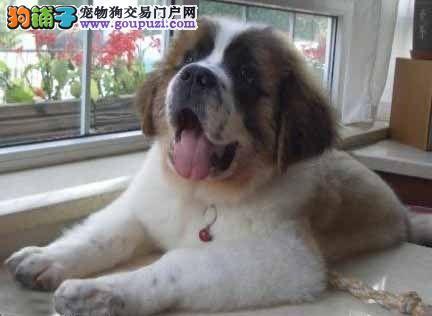 广州诚信犬舍狗场有卖非常强壮的圣伯纳求援大型犬3