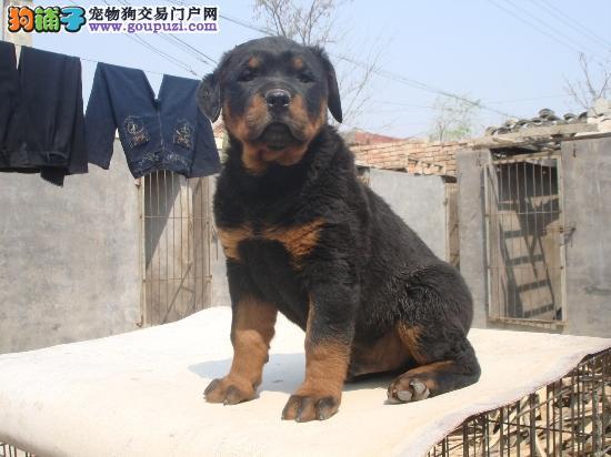 长沙出售精品护卫犬罗威纳 三年包治疗 售后无忧