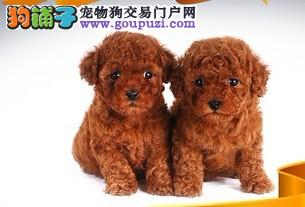 苏州纯种贵宾多少钱一只 苏州一只茶杯贵宾犬要多少钱