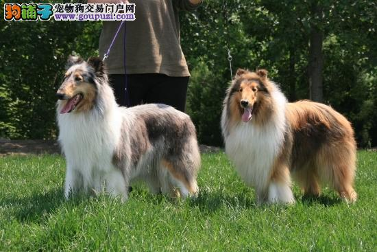 热销多只优秀的福州纯种苏牧幼犬送用品送狗粮