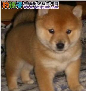 哈尔滨自家繁殖柴犬幼犬 日本纯种柴犬 品相好价格公道