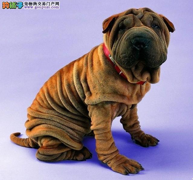沙皮幼犬正规狗场、专业繁殖、实物拍摄可见父母可送