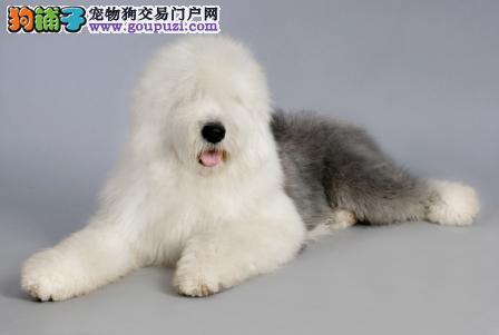上海骨量足脑袋宽大 招人喜爱的古牧小狗 古代牧羊犬