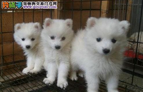 上海售日本尖嘴银狐犬 自家繁殖血统正宗可上门可视频