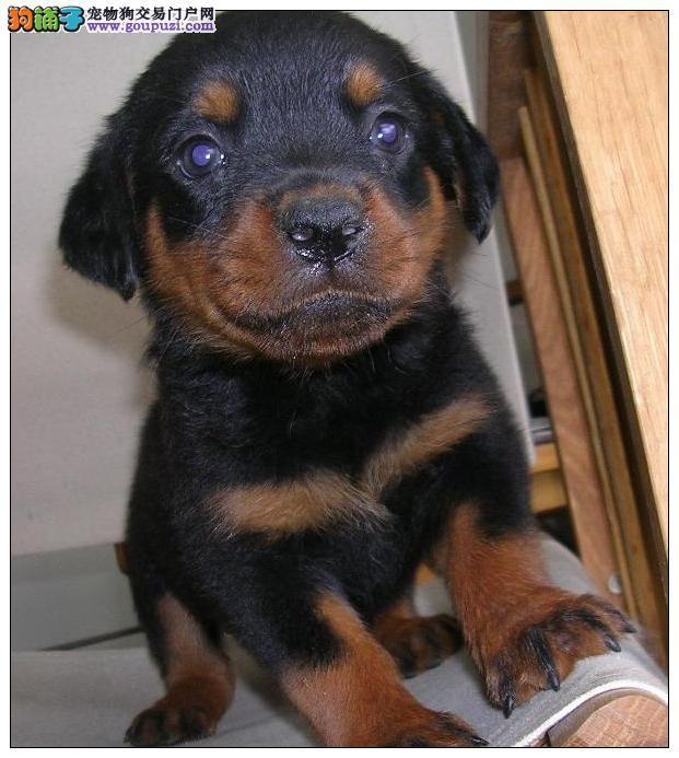 极品罗威那幼犬———终身指导_健康质保_可送运