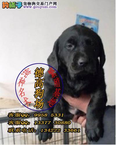 广州拉布拉多犬多少钱 广州拉布拉多猎犬高清图片
