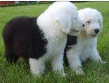 出售家养古代牧羊犬,健康可爱疫苗齐全,可上门挑选