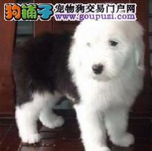 遵义正规犬舍出售纯血统高品质古牧幼犬价格优惠可上门