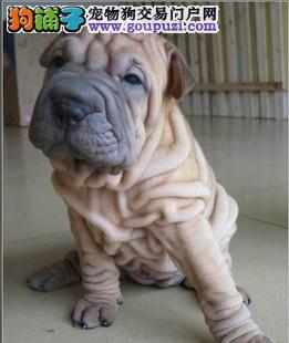 西安出售沙皮狗颜色齐全公母都有保障品质售后
