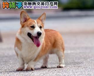 广州英国皇室专宠矮脚骑士柯基犬威尔士柯基犬出售