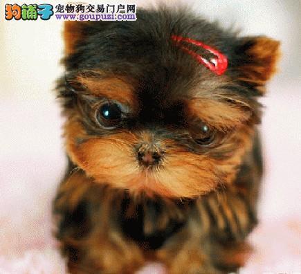北京小体约克夏幼犬品相好性格温顺好养活可签协议