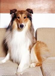 纯种苏格兰牧羊幼犬血统纯保健康优惠价出售