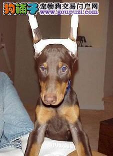 长沙售纯种健康护卫杜宾 笃宾犬可签协议
