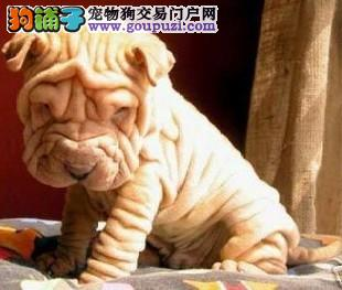 沙皮犬幼犬出售 血统纯正 保健康 驱虫疫苗已做 签协议