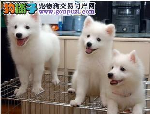 聪明可爱银狐犬幼犬出售赛级品质CKU认证