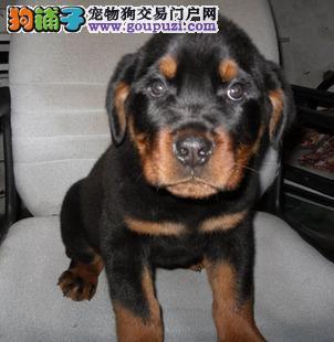 罗威纳犬舍,专业繁育罗威纳犬 带证书外地可送货1