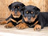 无锡纯种罗威纳幼犬正规犬舍繁殖赛级品质 疫苗齐全2