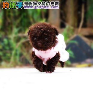 出售极品茶杯犬幼犬完美品相诚信经营良心售后
