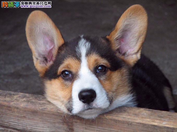 挑选柯基犬要看看狗狗是否纯种
