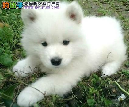狗场直销纯种日本尖嘴银狐犬 健康质量好 ,血统正宗