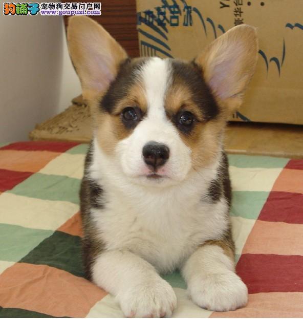 选购柯基犬要衡量它的体重与身高