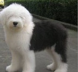 CKU古代牧羊犬白头通背双蓝眼特价出售--签协议保健康