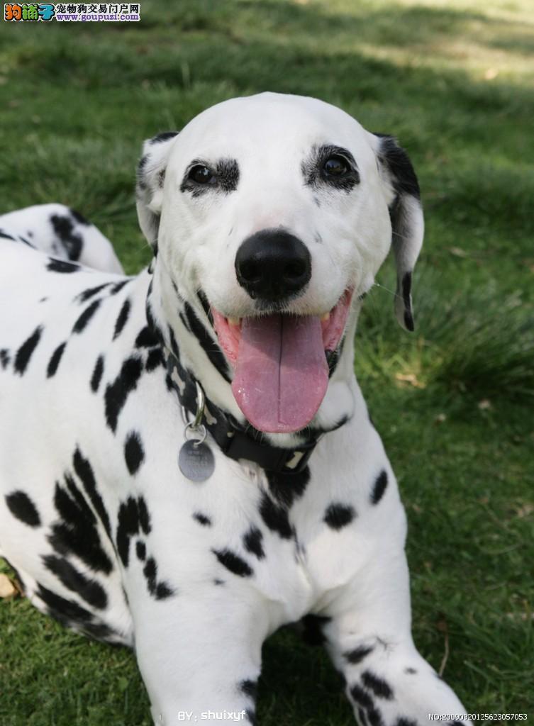 公母均有的西安斑点狗找爸爸妈妈价格美丽非诚勿扰