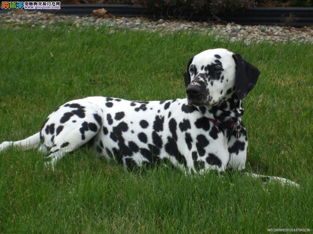 热销多只优秀的西安纯种斑点狗幼犬全国十佳犬舍1