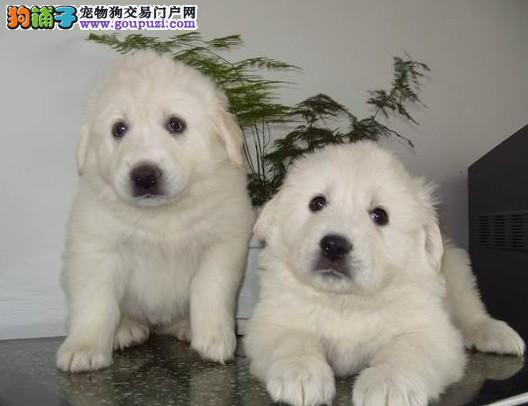 西宁专业的大白熊犬舍终身保健康实物拍摄直接视频1