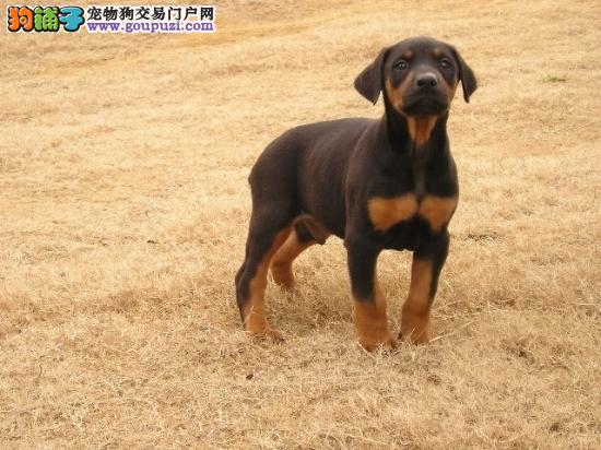 CKU犬舍认证出售高品质青岛杜宾犬喜欢微信咨询