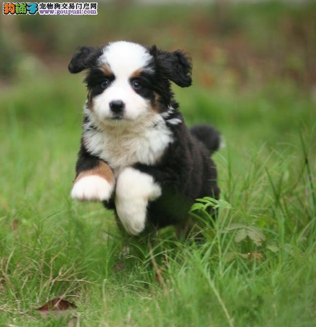 延安市出售伯恩山 可视频看狗 三个月包退换 血统纯正