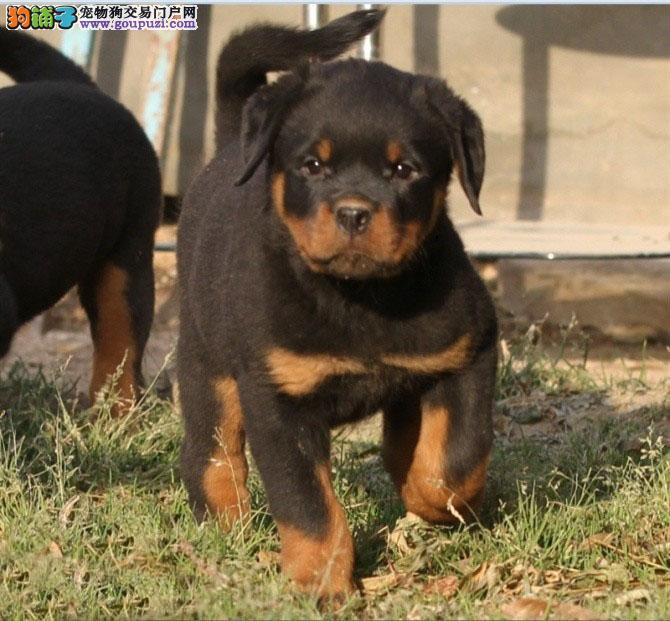 纯种罗威纳幼犬出售 精品罗威纳幼犬找新家