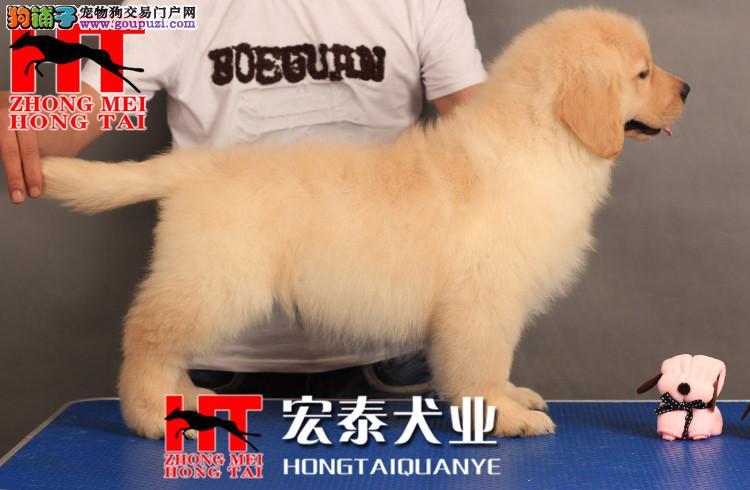 均称、有力、活泼的狗狗 金毛