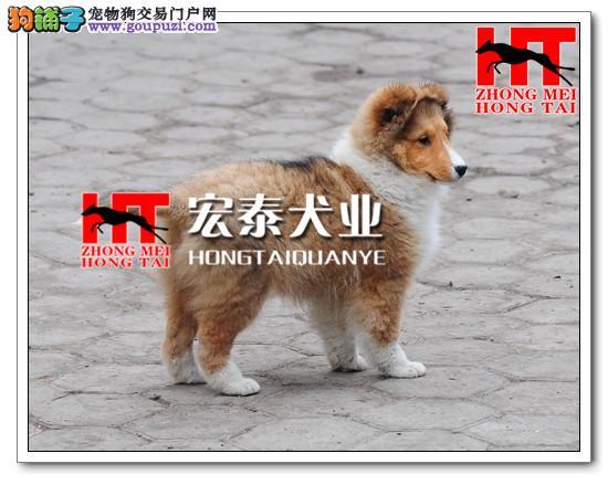 FCI高品质纯种喜乐蒂幼犬终身保障可来场选质保三年