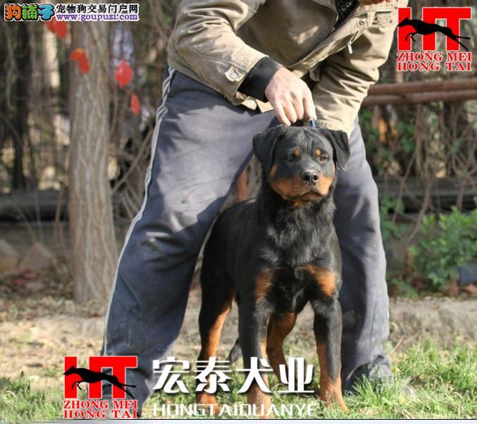 中美宏泰犬业出售动作迅猛,气势强悍的狗狗 罗威纳3