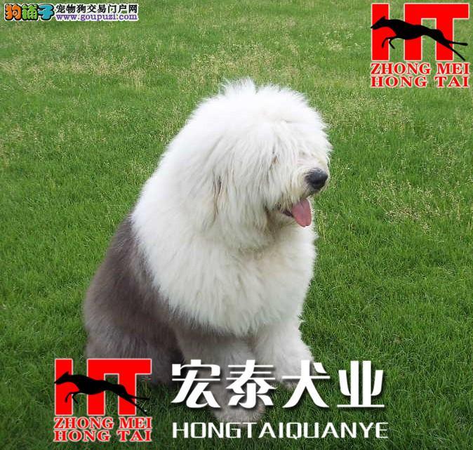 FCI认证犬业出售白头,通背古牧出售,健康..血统保证