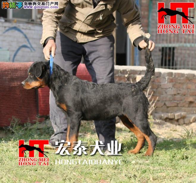 中美宏泰犬业出售动作迅猛,气势强悍的狗狗 罗威纳1
