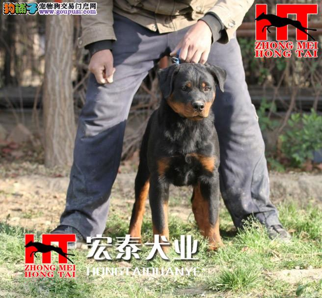中美宏泰犬业出售动作迅猛,气势强悍的狗狗 罗威纳2