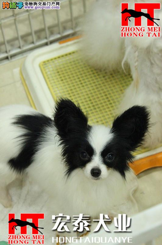 呼和浩特中美宏泰犬业出售3 4个月纯种蝴蝶犬 保纯保健康